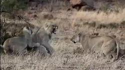 Hai con sư tử đực bất lực khi bị sư tử cái cướp mồi