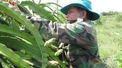 Trung Quốc nhập thanh long sạch, nông dân chuyển hướng sản xuất