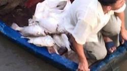 Cá chết bất thường hàng loạt trên sông, dân vớt về cho lợn ăn