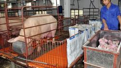 Gà, lợn tăng thêm 20% trọng lượng nhờ ứng dụng máy móc hiện đại