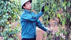 """Giá tiêu hôm nay 29.9: Dự báo khó vượt ngưỡng 80.000 đ/kg, Bộ NNPTNT """"mổ xẻ"""" nguyên nhân giá tiêu Việt thấp"""