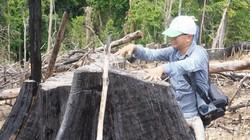 Phá rừng phòng hộ Quảng Nam: Kiểm lâm, chính quyền đã buông lỏng