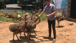 Làm giàu ở nông thôn: Trưởng thôn mặt bấm ra sữa nuôi đàn chim to xác