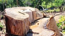 Phá rừng ở Bình Định: Doanh nghiệp lên tiếng kêu oan (?)