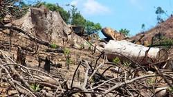Bình Định: Gần 61ha rừng bị phá khi Hạt trưởng kiểm lâm bận đi học