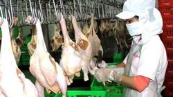 """EU đang cần mua gần 1 triệu tấn gia cầm, cơ hội """"vàng"""" cho gà VN"""