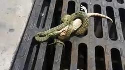 Tắc kè quẫy mình tẩu thoát ngoạn mục khỏi rắn
