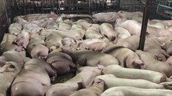 Giá lợn hôm nay 30.9: Thị trường TP.HCM rúng động sau vụ bơm thuốc vào 5.231 con lợn, giá thịt bán sỉ tăng lên 70.000 đ/kg