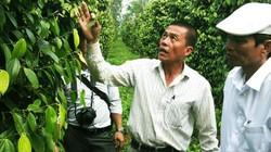 Giá tiêu hôm nay 1.10: Mỹ nhập khẩu tiêu Việt Nam nhiều nhất, Đắk Lắk cảnh báo thương nhân Trung Quốc mua tiêu
