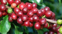 Giá nông sản hôm nay 4/7: Giá cà phê đảo chiều phục hồi nhẹ, giá tiêu xuất khẩu giảm trên 60%