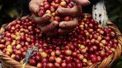 Giá nông sản hôm nay 5/7: Giá cà phê tiếp tục nhích lên từ đáy, giá tiêu đứng yên nhiều ngày