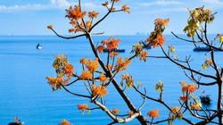 Hội An (Quảng Nam): Rực rỡ sắc hoa ngô đồng vừa chớm nụ dưới nắng hè