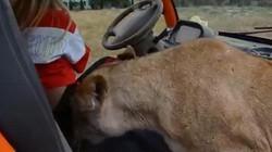 Sư tử cái nhảy lên xe đòi ôm hôn du khách không rời