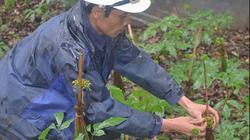Nơi hẻo lánh, dân chờ khấm khá khi trồng 2 loại sâm quý