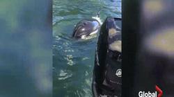 """Bị cá voi sát thủ đuổi, hải cẩu """"khôn như người"""" thoát chết ngoạn mục"""