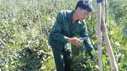 Liên kết trồng cà tím Nhật, dân ở đây lãi hơn 20 triệu đồng mỗi sào