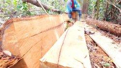 Kon Tum: Lâm tặc ngang nhiên đốn hạ cây, xẻ gỗ ngay tại rừng