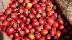 Giá nông sản hôm nay 11/7: Cà phê tăng tiếp đầy triển vọng, giá tiêu tăng giảm không đều