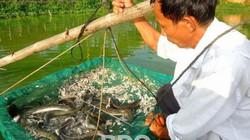 Nuôi thành công loài cá chình mun, lão nông đất võ thu nửa tỷ đồng