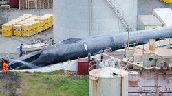Cảnh xẻ thịt cá voi xanh to như tàu ngầm đầu tiên sau 50 năm ở Iceland