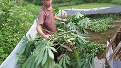 Nuôi con siêu đẻ ở ao cạn, ăn lá cây, bèo tấm, bán hơn 100 ngàn/kg