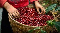 Giá nông sản hôm nay 14/7: Giá cà phê tiếp tục giảm, giá tiêu đứng im