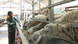 Không phải cao bồi, nhưng anh nông dân này kiếm nửa tỷ từ cừu và dê