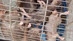 Chuột khổng lồ to như mèo tấn công khu phố, truyền bệnh cho trẻ