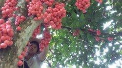 """Đặc sản Tây Bắc: """"Săn"""" dâu da rừng, có nhiều cây hái vài tạ quả"""