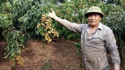 Trồng loại quả đặc sản VietGAP nông dân vùng cao lãi trăm triệu/năm