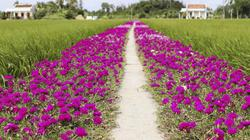 """""""Chịu chơi"""" trồng con đường hoa mười giờ từ đồng về nhà đẹp như vẽ"""