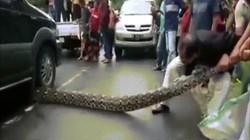 Video: Trăn khổng lồ dài 10 mét sang đường, bị xe đè kẹt cứng