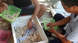 Nuôi ốc nhồi đẻ ở ao hẻm núi, khách đặt mua giống từ khi còn trứng