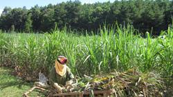 Lạ kỳ: Ngành đường cả nước ế ẩm, người trồng mía Sơn La vẫn có lãi