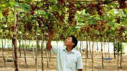 Ninh Thuận: Trồng nho xanh tốt, trĩu quả nhờ bón phân Địa Cầu Xanh