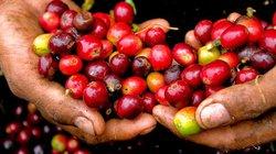 Giá nông sản hôm nay 25/7: Giá cà phê tiếp tục tăng, giá tiêu chỉ còn 51.000 đồng/kg