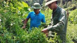 Nơi này, dân đang làm giàu nhờ trồng các loài rau hoang dại