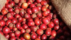 Giá nông sản hôm nay 27/7: Giá cà phê trượt dốc, giá tiêu lùi sâu hơn