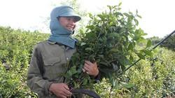 Chỉ trồng cây bán lá thôi, người dân ở đây có ngày bỏ túi 1,2 triệu