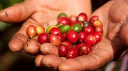 Giá nông sản hôm nay 30/7: Giá cà phê ở mức thấp, thị trường trầm lắng, giá tiêu không đổi