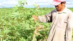 Bệnh khảm lá sắn vô phương cứu chữa hoành hành các tỉnh Đông Nam Bộ