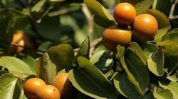 Giống hệt quả cam, loại quả này có thể gây tử vong nếu ăn nhầm