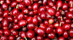 Giá nông sản hôm nay 31/7: Giá cà phê tăng nhẹ, giá xuất khẩu hạt tiêu giảm