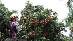 Thanh Hà: 10 hộ trồng nhãn thì 4-5 hộ thu nhập trên trăm triệu
