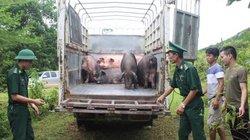 Quảng Ninh: Bắt giữ, tiêu hủy 1 tấn lợn nhập lậu từ Trung Quốc