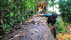 """Khởi tố vụ án rừng phòng hộ bị """"tàn sát"""" nghiêm trọng ở Bình Định"""