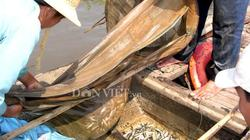 Khắc khoải mùa vớt cá non khi nước nổi ở miền Tây