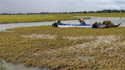 """Vừa gặt lúa chạy lũ ngoài đê, người dân ĐBSCL vừa mong có """"lũ đẹp"""""""