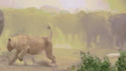 Sư tử hùng hổ đuổi cả đàn trâu và diễn biến không thể ngờ