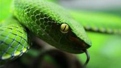 Các loại rắn độc ở Việt Nam: Giết người trong tích tắc